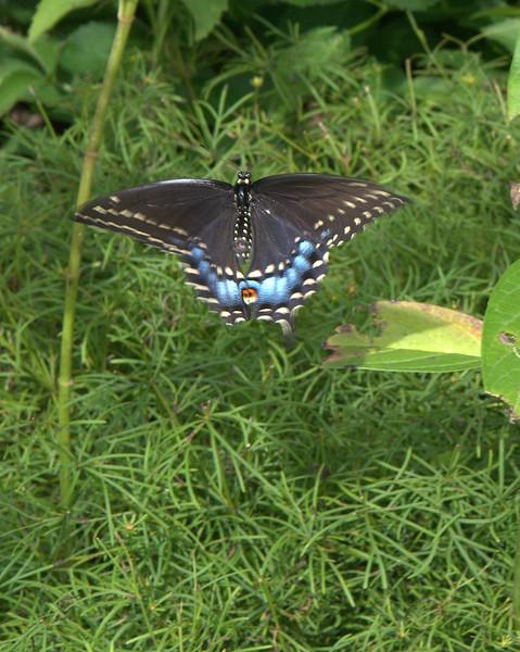 Swallowtail 2.jpg