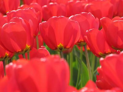 2010_04_10 - Skagit Valley Tulip Festival