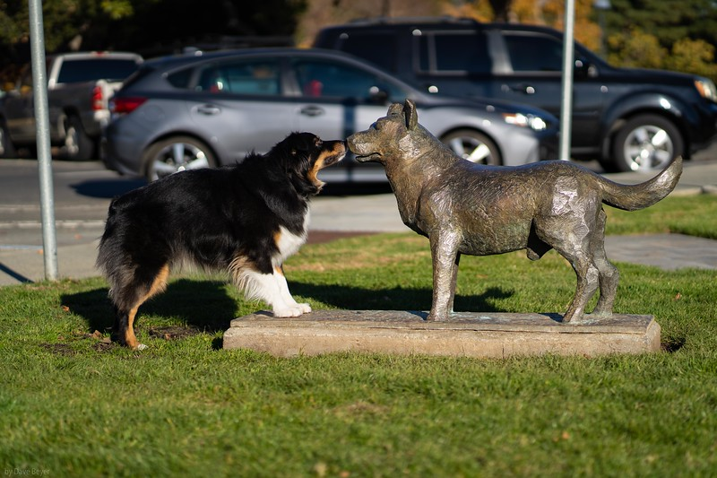 Meeting the Los Altos Cattle Dog