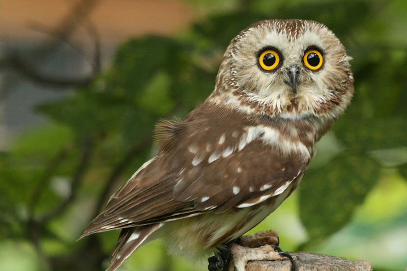22 Tiny Owl