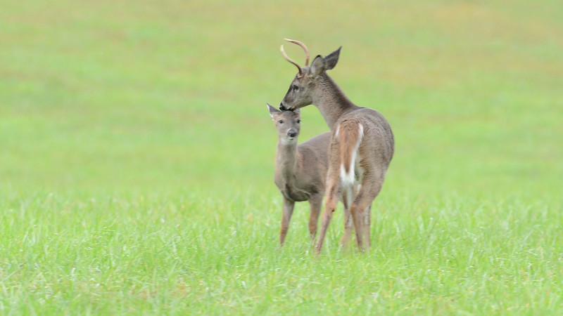 deer_grooming.mov