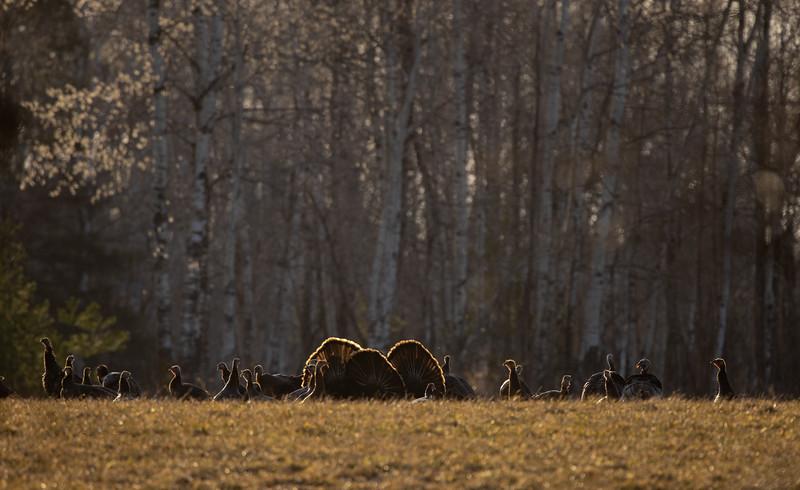 Wild Turkey flock displaying male toms courtship Skogstjarna Carlton County MN  IMGC5697.jpg