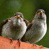 young house sparrows