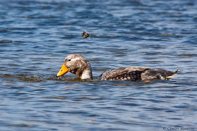 Falkland_Steamer_Duck_3.jpg
