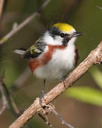 Warbler, Chestnut-sided