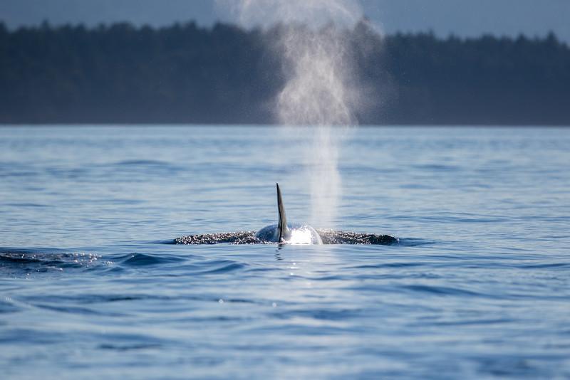 Orcas -  073115-437.jpg