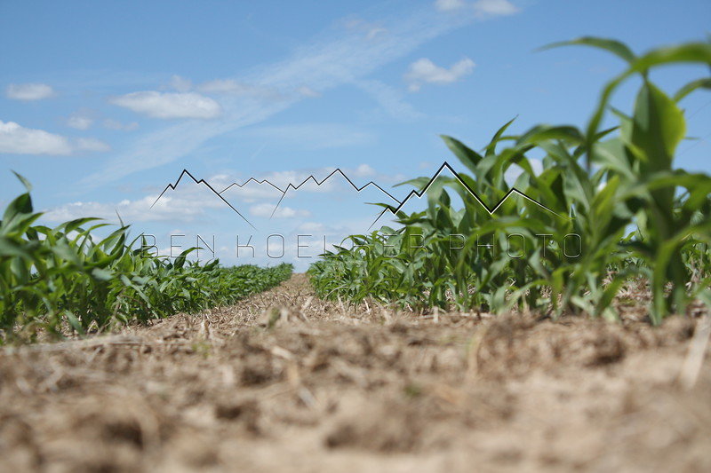 Corn row, Grant County, WI