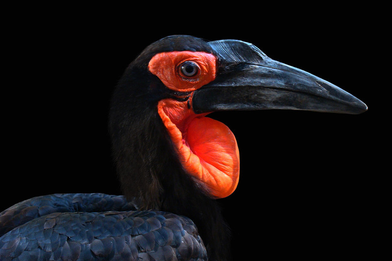 GROUND HORNBILL - SOUTH AFRICA