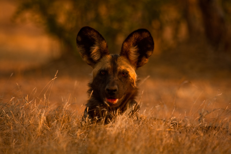 WILD DOG IN GRASSZIMBABWEWILD DOG IN GRASS.jpg
