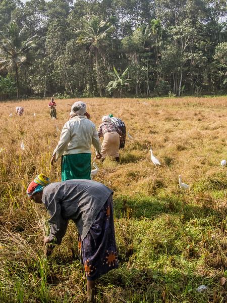 kerala rice field 3.jpg