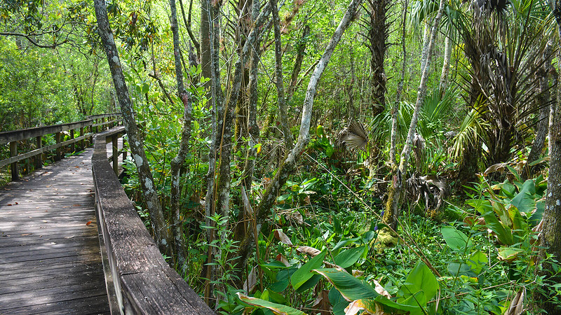 Boardwalk through the lush swamp forest