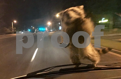 raccoon-jumps-on-moving-colorado-police-van-takes-a-ride