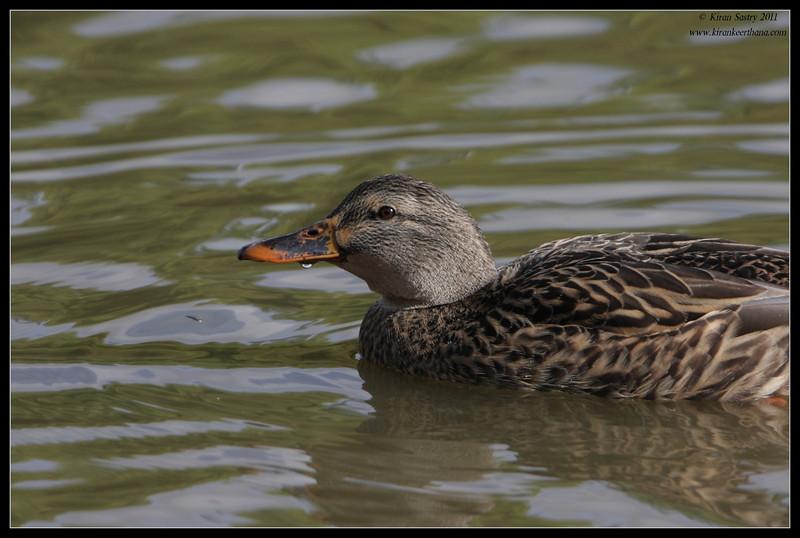 Mallard duck, Lindo Lake, San Diego County, California, November 2011