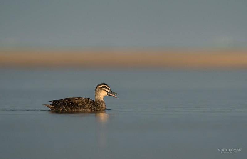Pacific Black-duck, Bellambi Lagoon, NSW, Aus, Jun 2013.jpg