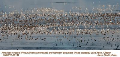 AmericanAvocets&NorthernShovelers58149.jpg