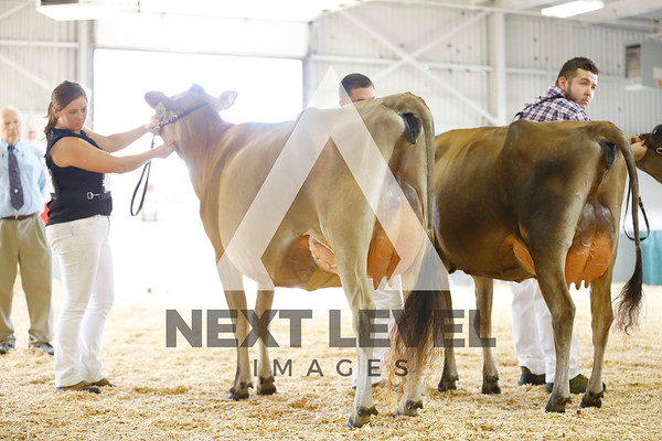 2016 Jersey Cows