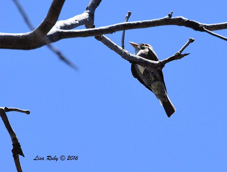Olive-sided Flycatcher number 1 - 6/4/2016 - Laguna Meadows