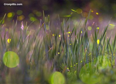 sm_fireflies_M4D9905.jpg