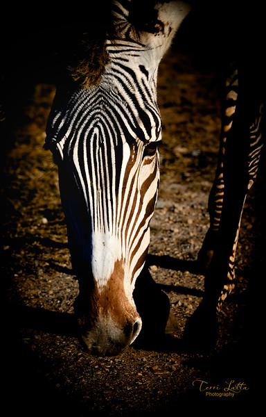 _DSC0702 zebra nov 2019 signed.jpg