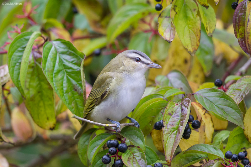Red-eyed Vireo - Easington, Yorkshire 14/10/19