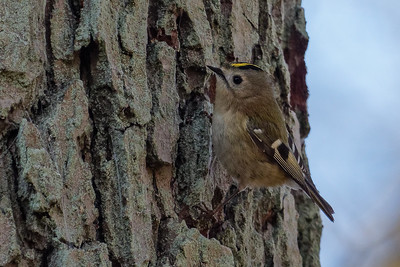 Goldcrest - Fuglekonge