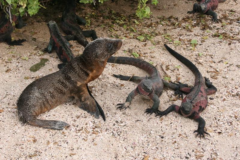 2007-02-19-0015-Galapagos with Hahns-Day 3, Espanola-Sea Lion-Marine Iguanas.JPG