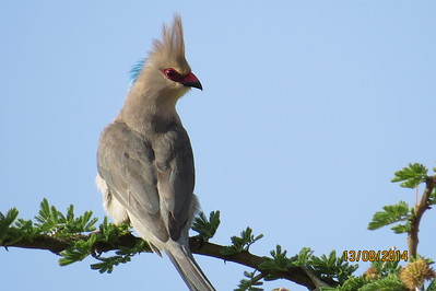 Mousebirds (Coliidae)