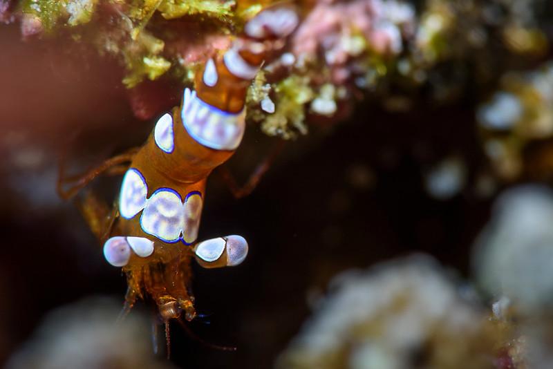 Harlequin shrimp, Raja Ampat, Indonesia.