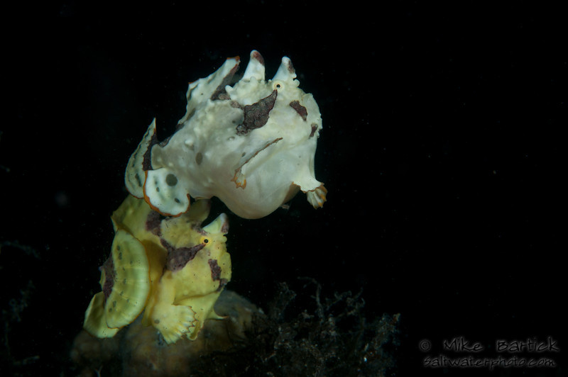 Spawning frogfish (5 of 18).jpg