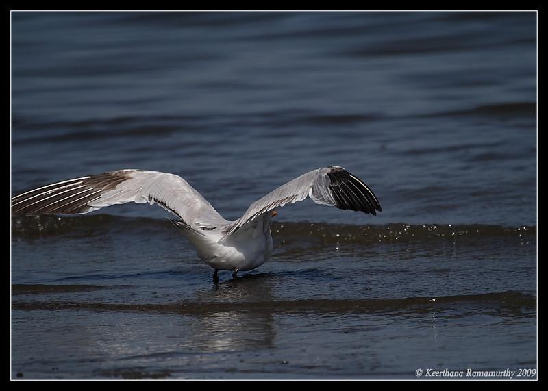 Royal Tern, Coronado Ferry Landing, San Diego County, California, April 2009