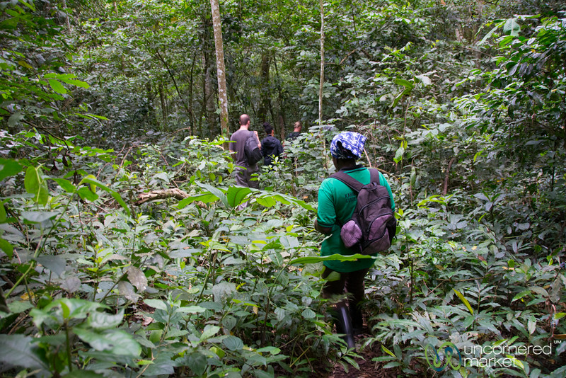 Chimpanzee Trekking in Kalinzu Forest Reserve - Western Uganda