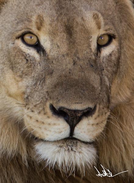 Lions Etosha-S-12.jpg