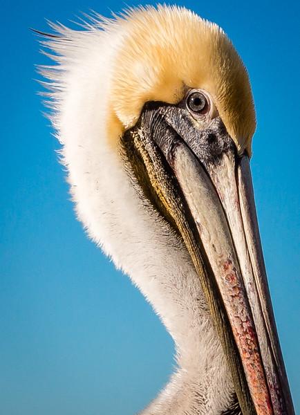 Pelican at Bird Rock
