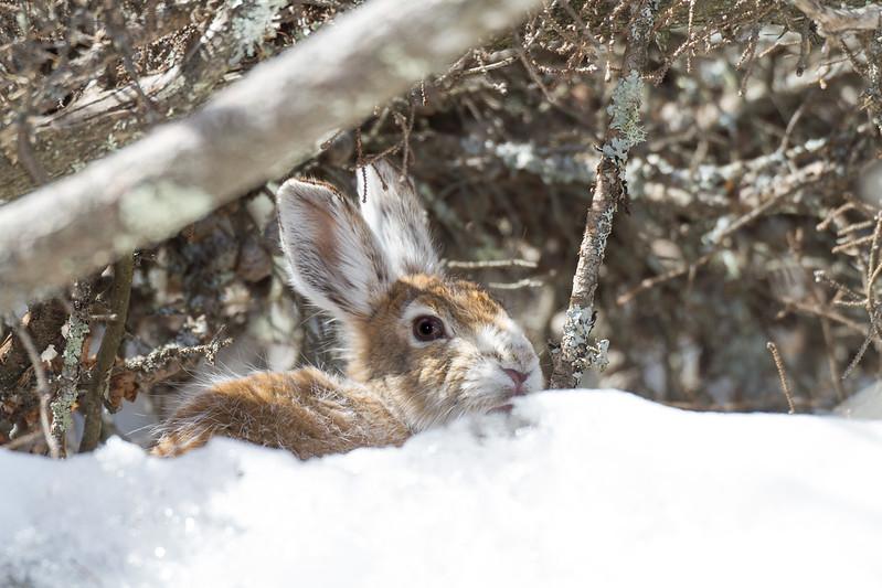 Snowshoe Hare turning brown Warren Nelson Memorial Bog Sax-Zim Bog MNIMG_1404.jpg