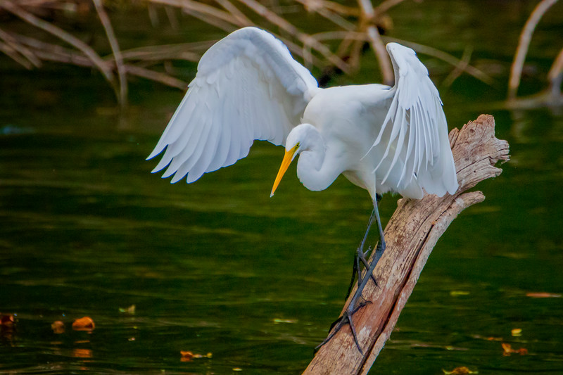 9.21.19 - Eagle Watch: Great Egret