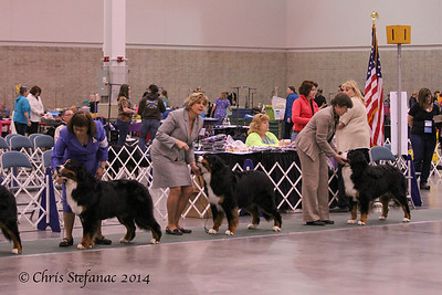 Futurity 15-18 mos Puppy Dogs BMDCA 2014