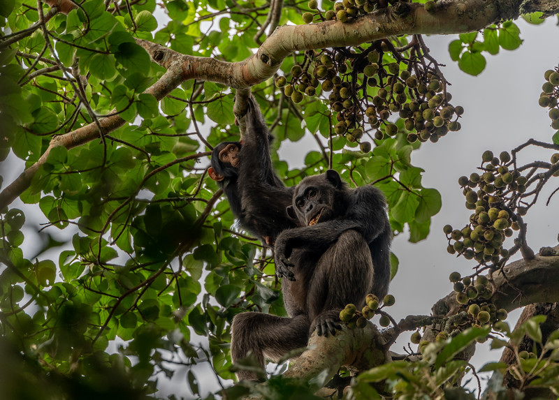 Uganda_T_Chimps-1257.jpg