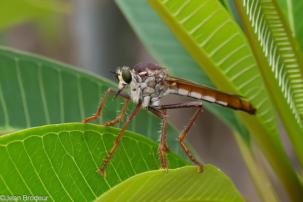 Insectes de Madagascar (suite)