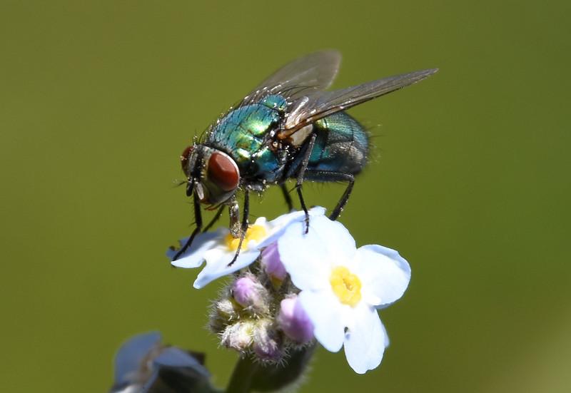 FlycloseupClosest.jpg
