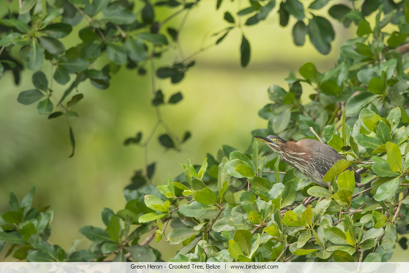 Green Heron - Crooked Tree, Belize