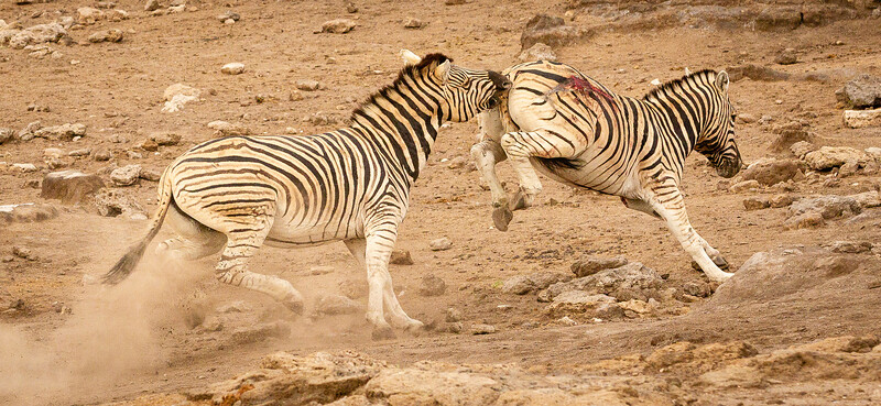 Zebra battle 2