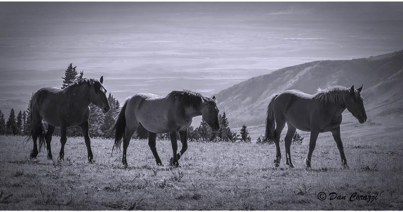 B&W Mustangs-1.jpg