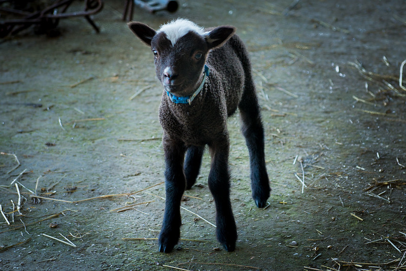 Lambie-1.jpg