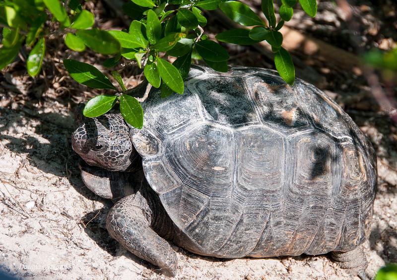Gopher Tortoise at Bowditch Point Park