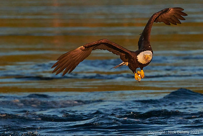 Bald Eagle with Hake #2