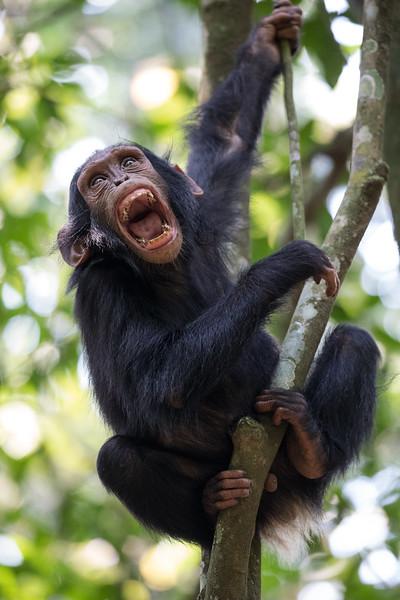 African_Apes_0218_PSokol-664.jpg