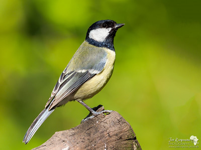 Great Tit perfectly perched