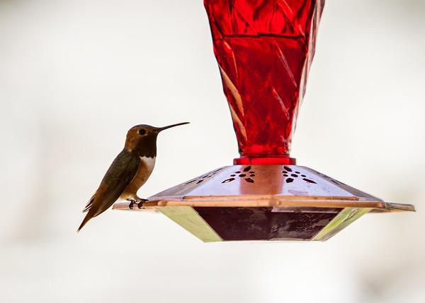 2014 07/26: First Hummingbird