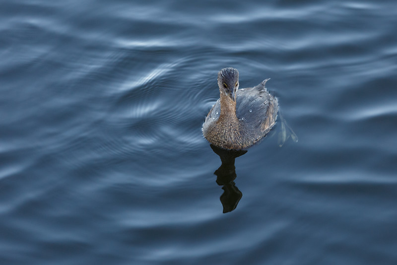 Piied-billed Grebe-4219.jpg