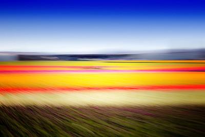 Skagit Tulip Fields 2016